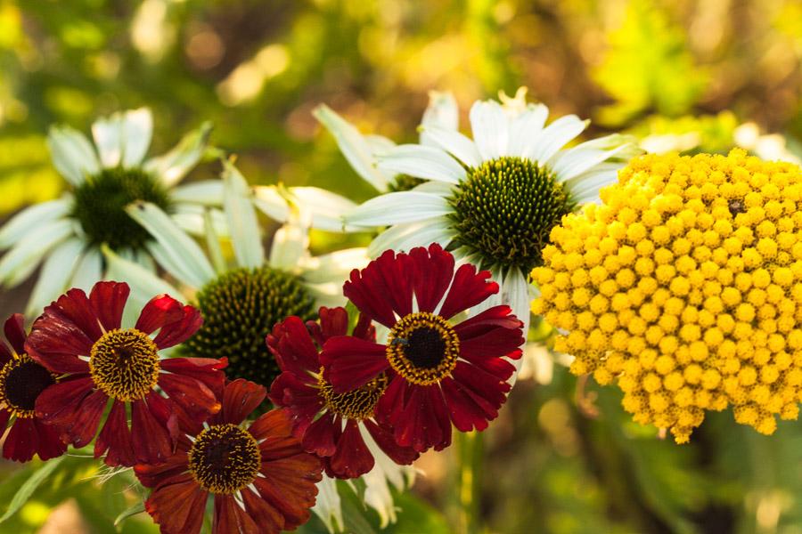Helenium 'Ruby Tuesday', Echinacea 'Jade', Achillea filipendulina 'Parker'