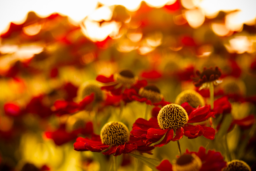 Rudbeckia hirta 'Cherry Brandy' and Sanguisorba officinalis 'Red Thunder'