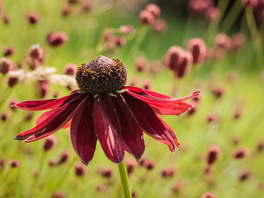 Rudbeckia hirta 'Cherry brandy' and Sanguisorba officinalis 'Red thunder'