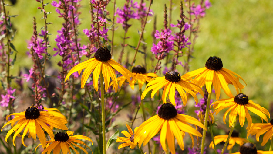 Rudbeckia fulgida 'Goldsturm' and Lythrum salicaria 'Dropmore purple'