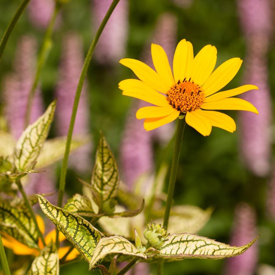 Heliopsis helianthoides 'Loraine Sunshine'