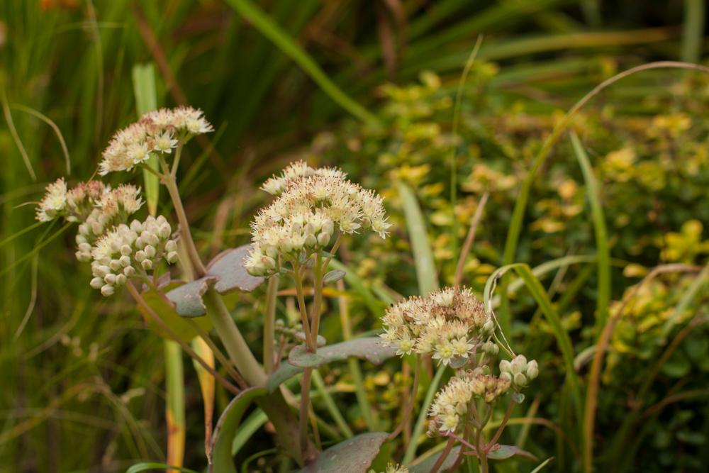 Sedum telephium ssp. ruprechtii 'Hab Gray'