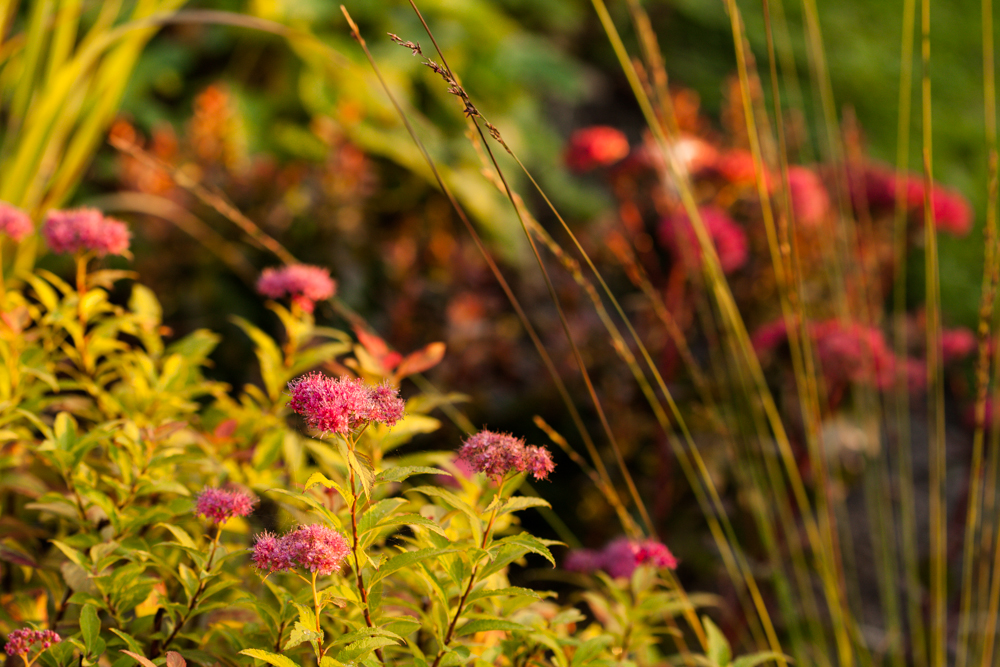Spiraea japonica 'Goldfalme' and Molinia caerulea 'Edith Dudszus'