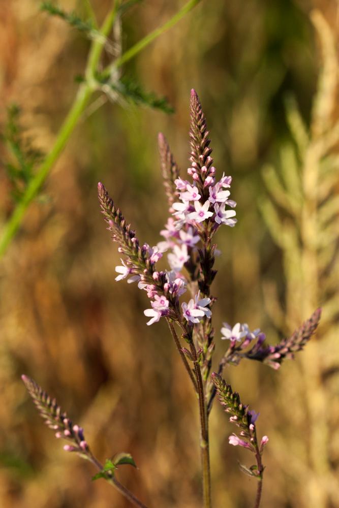 Verbena hastata rosea