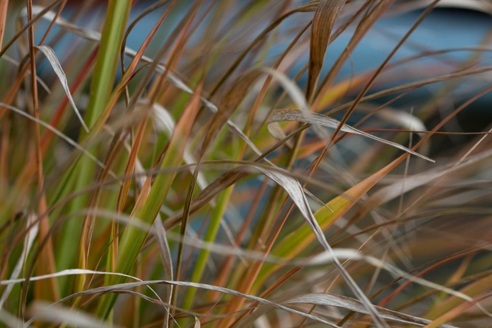 Eragrostis spectabilis rudenį