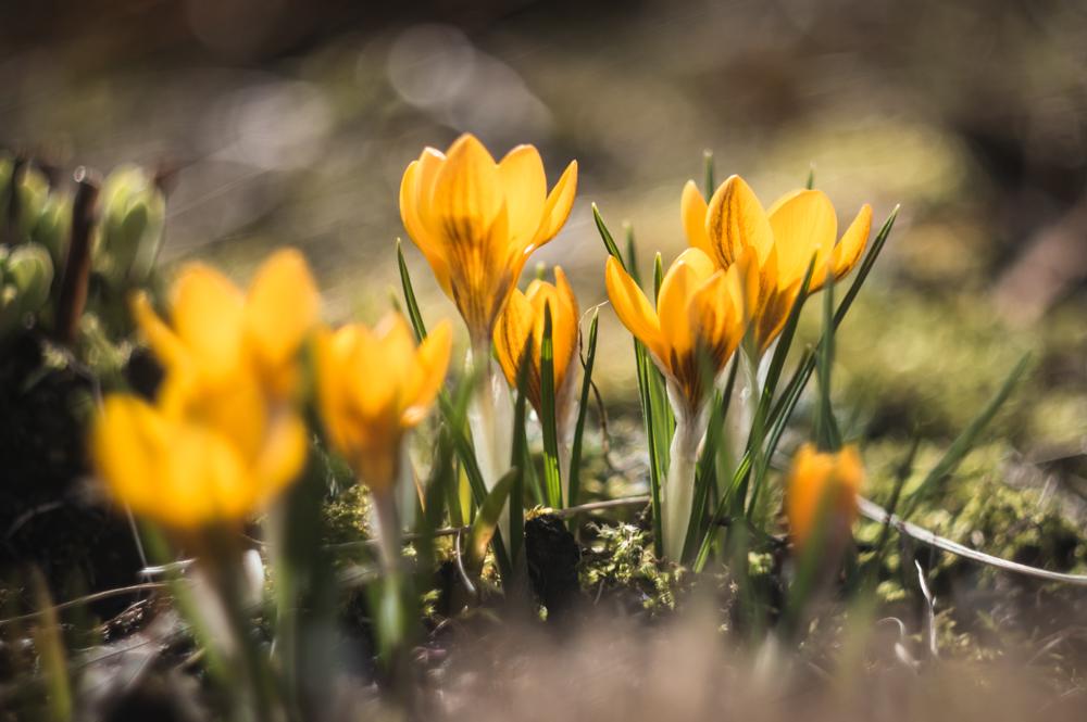 Geltona, geltona ir dar geltoniau. Šiandien saulei pašvietus išsiskleidė geltonų krokų taurelės. Crocus chrysanthus 'Fuscotinctus'.