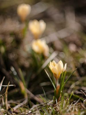 Šie bevardžiai šviesiai geltoni krokai dažnai būdavo patys ankstyviausieji. Šiais metai jie truputį susivėlino. Crocus chrysanthus.