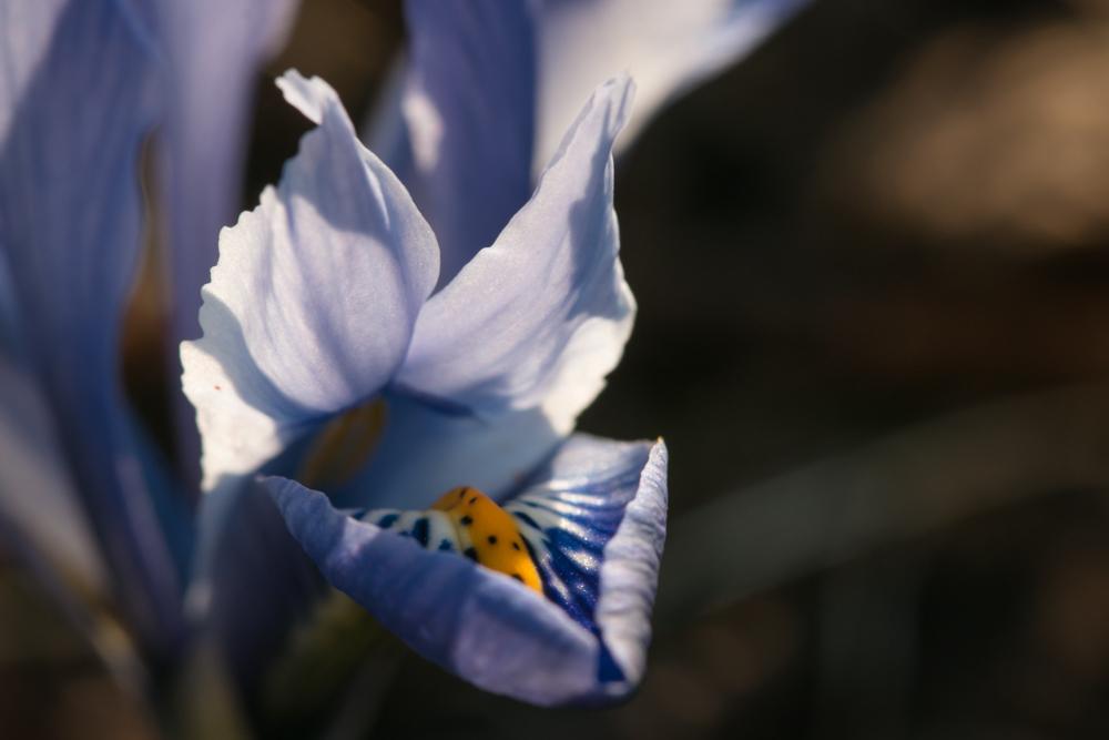 Ausytės stačios, akytės plačios. Pražydo pirmieji vilkdalgiai (Iris reticulata). Niekaip nesuprantu, kodėl anksčiau jų nebuvau bandžiusi auginti.