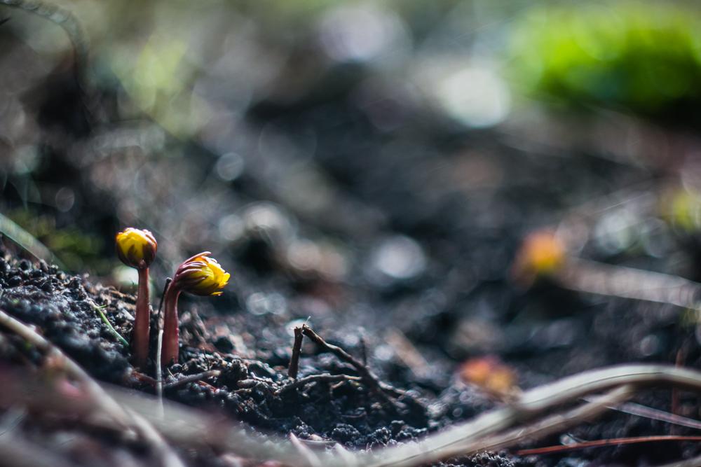 Pavasarinis erantis (Eranthis hyemalis)