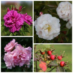 Nuo viršaus pagal laikrodžio rodyklę: Rosa rugosa Hansa, Lac Majeau, Lac Majeau uogos, Agra