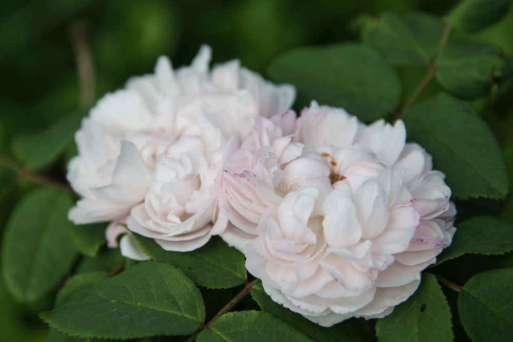 Rosa White Jacques Cartier