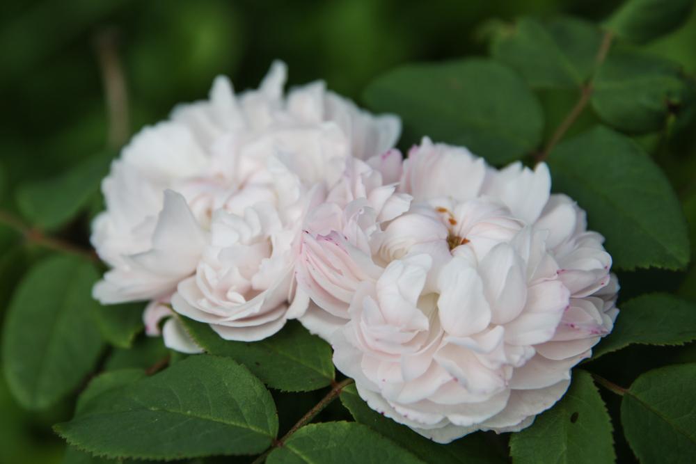 Rosa White Jacques Cartier