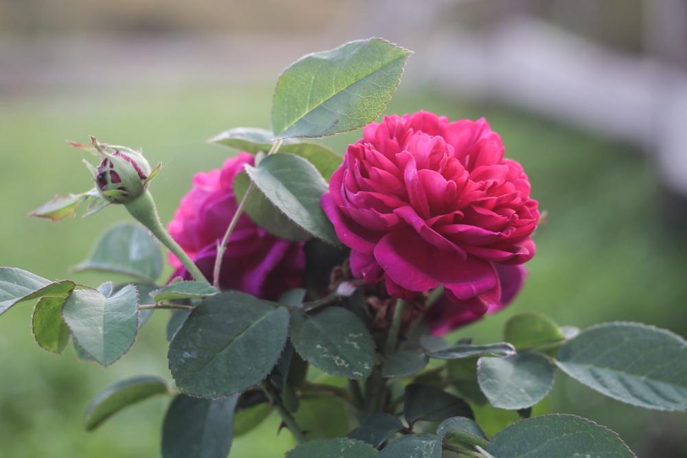 Rosa Rose de Recht